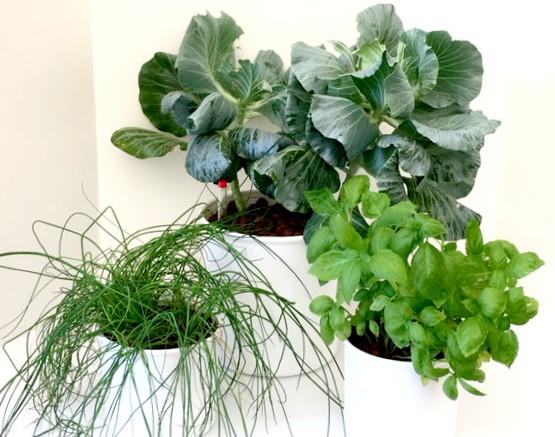 hydroponic herbs