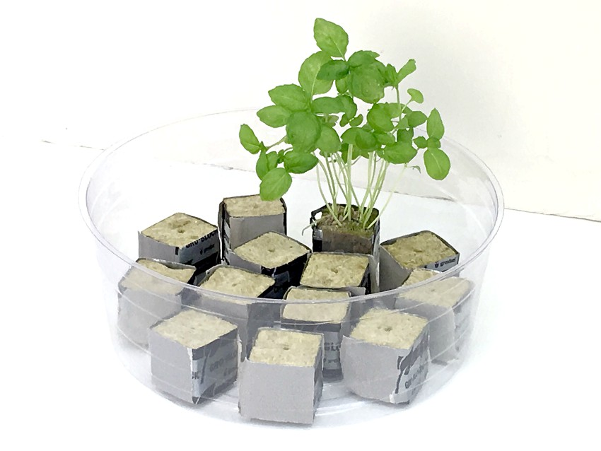 Hydroponic herbs growing in rockwool cubes