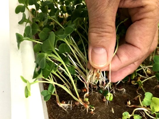 Growing microgreens - harvesting mature plants by pulling plants from jute grow mat.