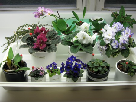 assorted african violets