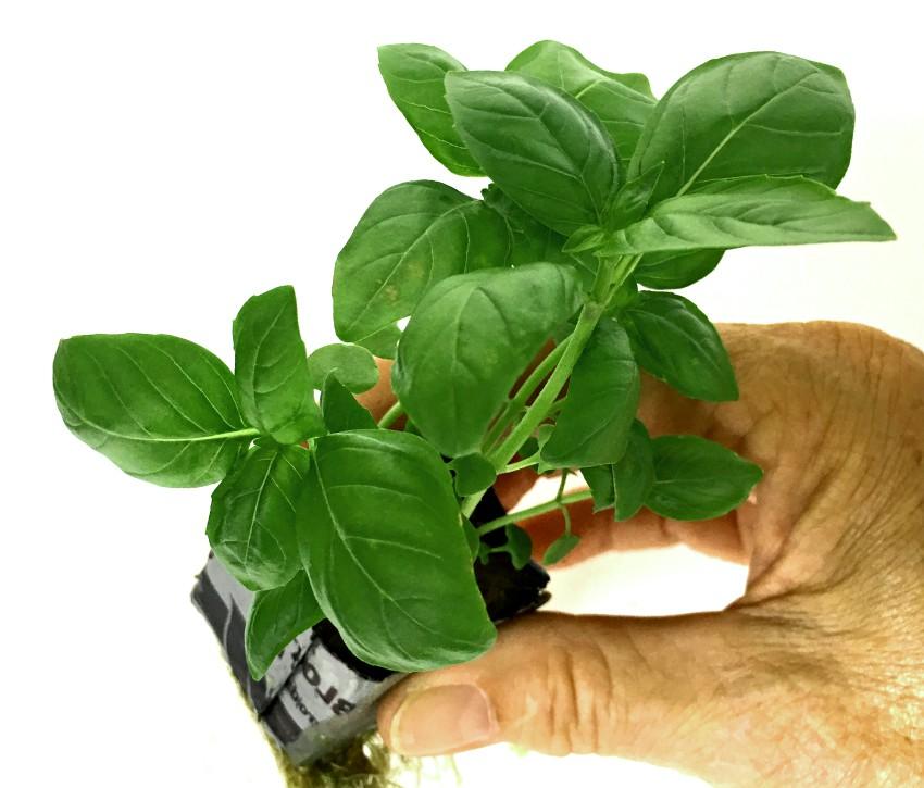 herbs - basil seedling