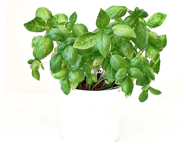 Herbs - basil growing in hydroponic planter