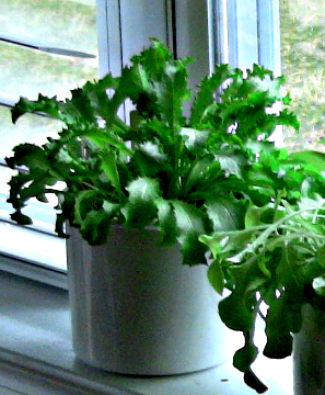 Hydroponic Herbs - growing in hydroponic planters