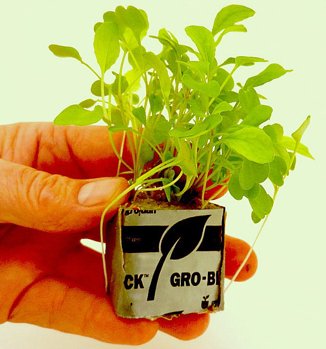 Growing herbs from seeds - seedlings in rockwool cubes