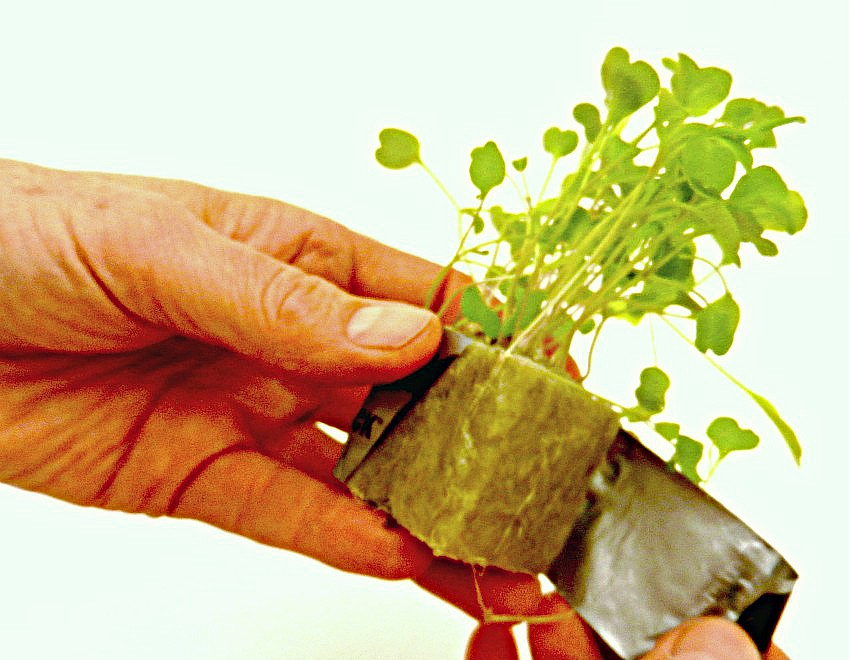 Hydroponic Herbs - preparing rockwool seedling for planting