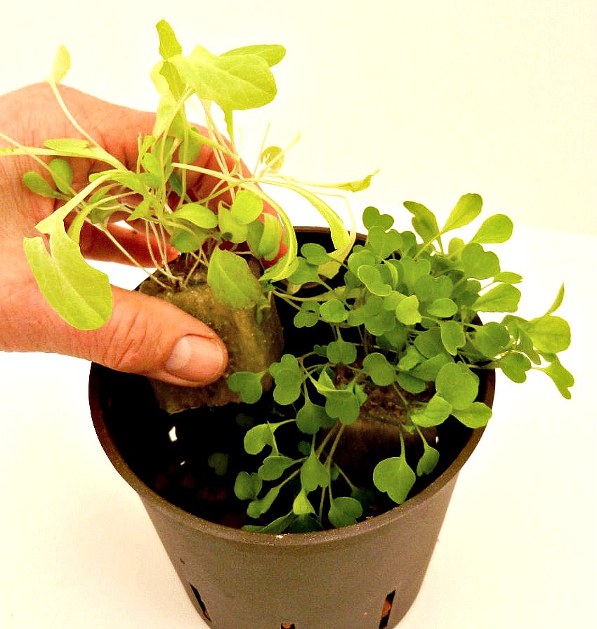 Hydroponic Herbs - planting rockwool cubes
