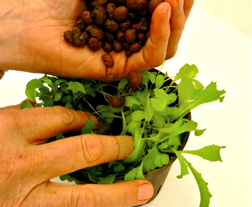 Hydroponic Herbs - planting herbs growing in rockwool into hydroponic planters