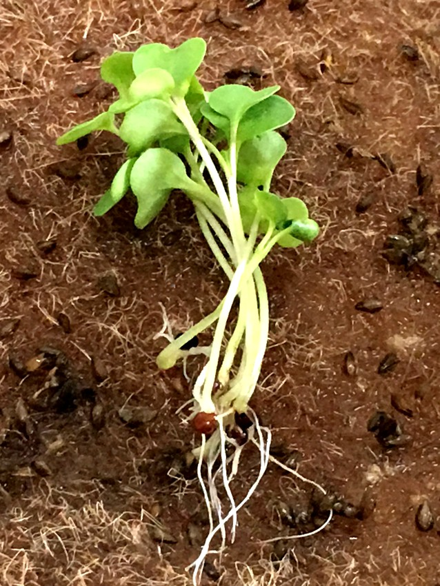 Growing microgreens - growing without soil