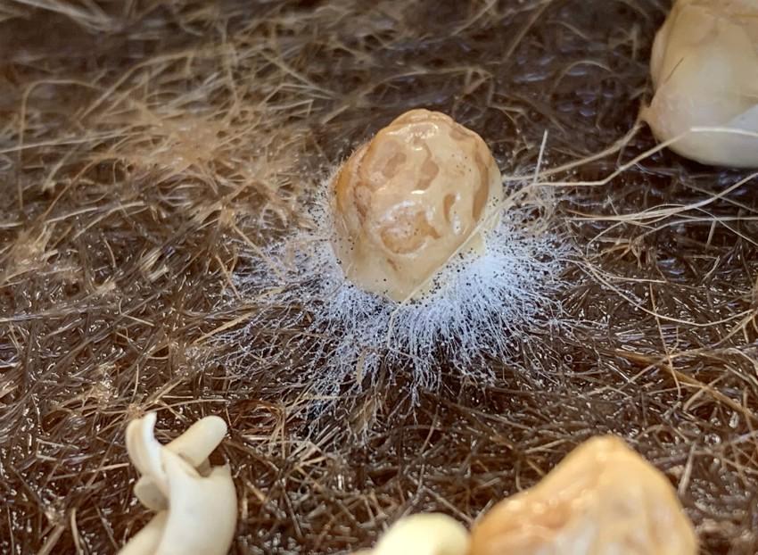 Growing microgreens - example of mold on seeds.