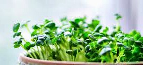 Growing microgreens - sprouting seeds