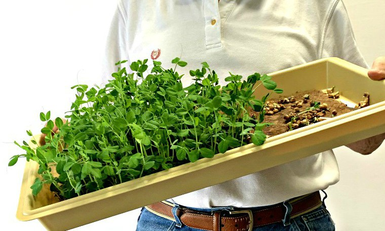 Growing microgreens - water plants by pouring water into a corner of the tray and tilting tray back and forth to distrubute the moisture.