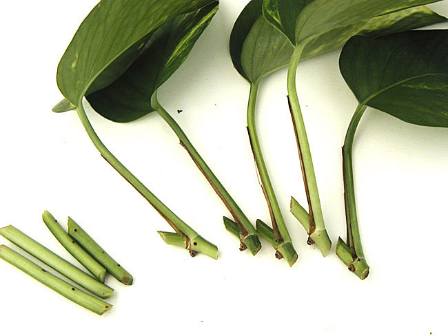 most common indoor houseplants html with Pothos Cuttings on Best Houseplants Destress n 2964013 likewise Bromeliad Plant also Most  mon Sorts Of Tall Indoor Plants That You Simply Will Use To Beautify Your Home likewise A Z List Of House Plants besides Pothos Cuttings.