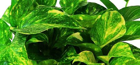 Plant Care Pothos