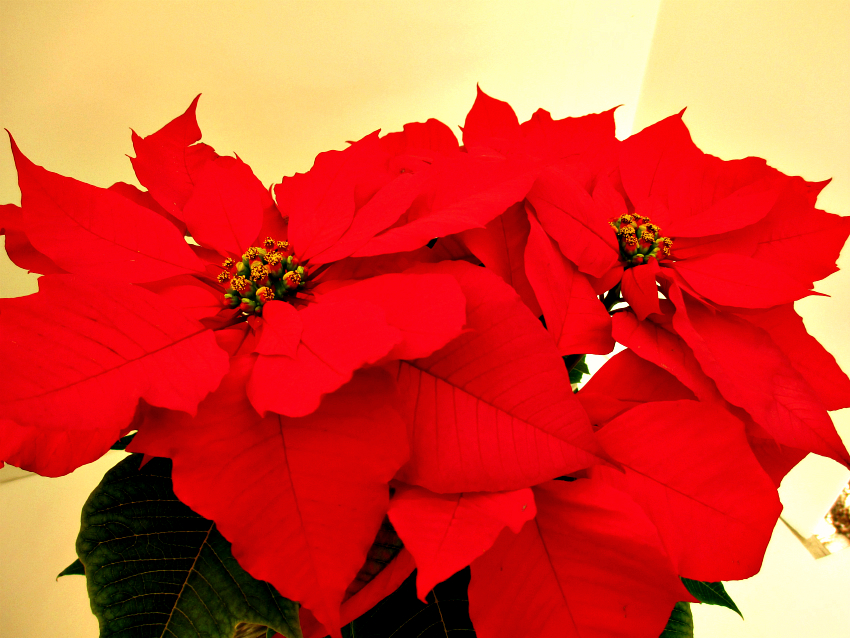 Poinsettia Care For The Holidays