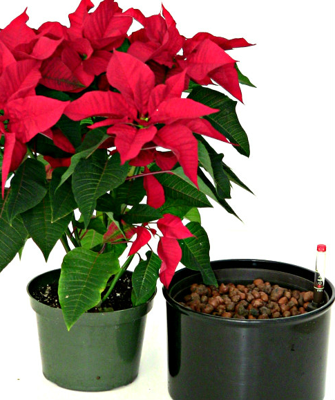 Self Watering System For Poinsettias