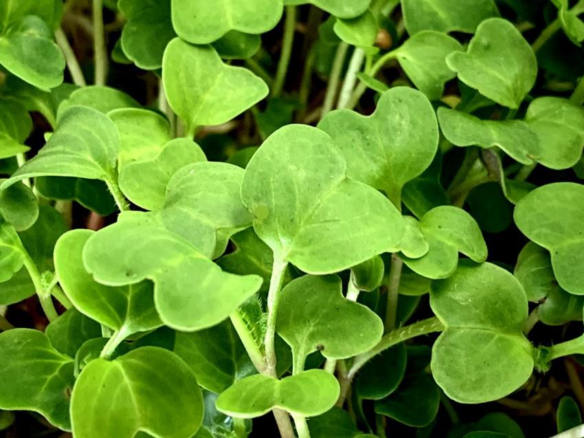 Growing microgreens - mature plants