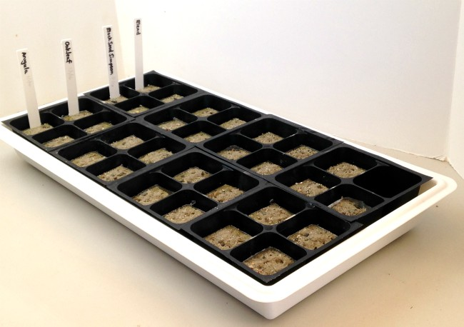 Growing herbs - tray of seeds planted in rockwool cubes