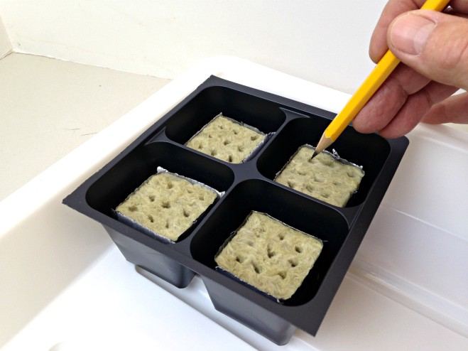 Growing herbs - planting seeds in Rockwool cubes