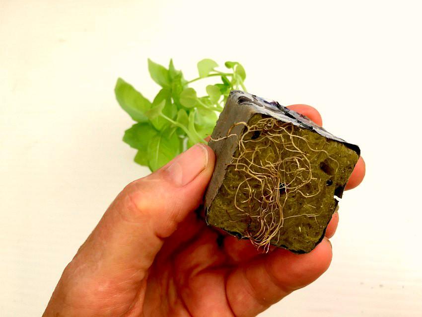 Hydroponic Herbs - mature seedling