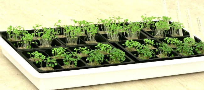 Growing herbs from seeds - tray of new seedlings