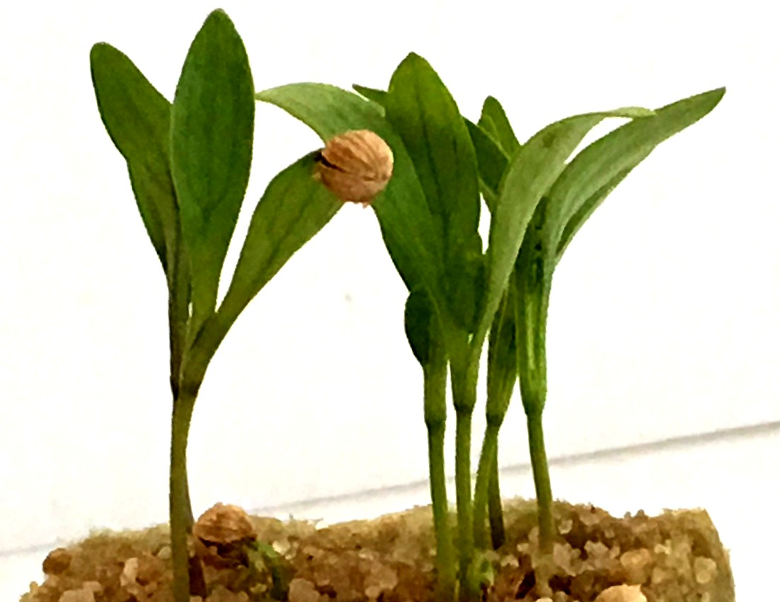 Seedlings emerging from Rockwoo Grow Cubes