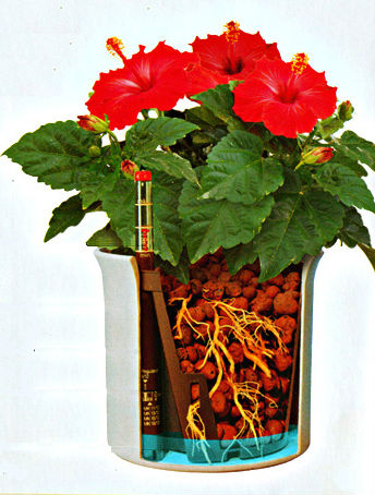 hibiscus in hydroponics
