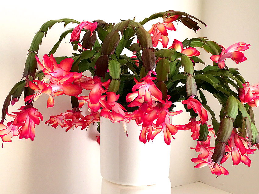 christmas cactus love hydroponics best time to convert from soil is after blooming