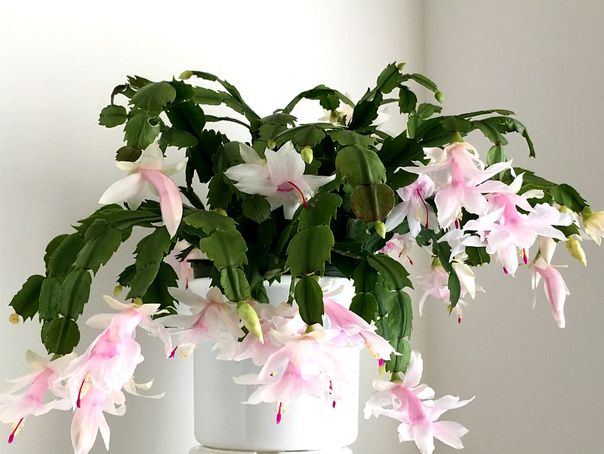Christmas Cactus Growing In Our Hydroponic System