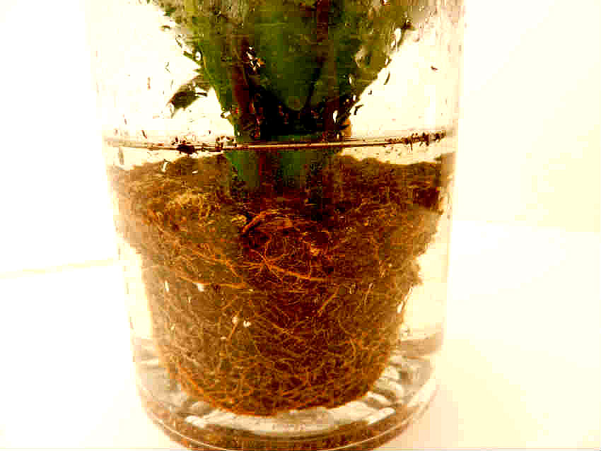 4 soaking roots in water overnight helps loosen the soil and minimizes root damage