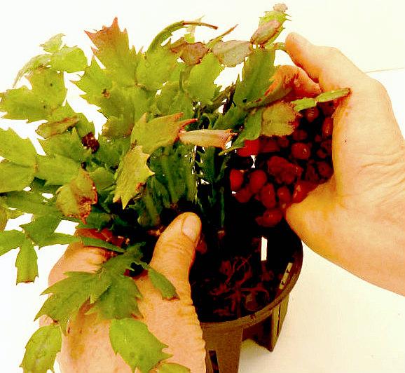 Repotting Christmas Cactus into Hydroponics