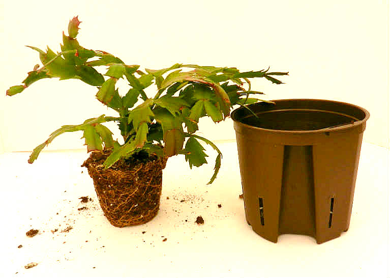 Repotting Christmas Cactus Into Terraponic System